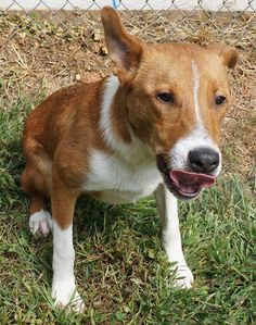 """URGENT!! IN GASSING SHELTER!! See! I'm bought all """"growed up"""" now.  It's me, """"Leo"""". I'm now about 8 months old - never had a home. Will you at least come visit with me? Love, Leo...  Name: LEO - Davidson County Animal Shelter 490 Glendale Rd Lexington NC 27292 Adoption Fee - $95 Type: BOXER MIX Age: 12 Weeks Sex: M Date-In: 4/22/2013  www.facebook.com/..."""