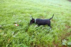 Miniature Bull Terrier  #Splinter D'Yobrebull PLL Clear