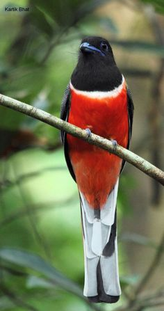 Malabar Trogon | Malabar Trogon (Harpactes fasciatus) photo