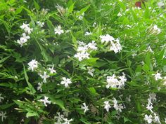 Bonine jasmine- article about the types of jasmine that grow well in the pacific northwest garden. poets jasmine (j officinale) . deciduous perennial, vines grow 15-20 feet quickly.