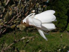 Magnolienblüten sind eine Augenweide | Die ersten Magnollien (c) Frank Koebsch (3)