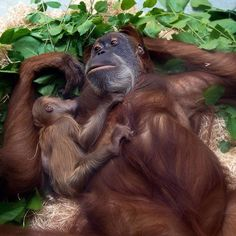 A male baby orangutan named Dalai lies in the arms of his mother Daisy at the zoo in Dresden Germany on July 30 2015. One week ago the female orangutan gave birth to Dalai and has since then recovered from the birth in camera. Photograph by Arno Burgi of DPACorbis. by time