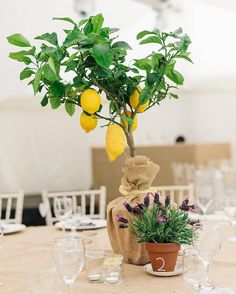 """Love love LOVE these lemon tree and lavender table centres, this afternoon's wedding by @pauljosephphotography has so many gorgeous details! """