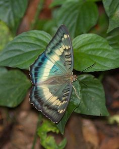 Taiwan Green Vanessa is a unique species of butterflies in Taiwan. Photo taken in the North Hengping by 賞景者 Jeff Lin 台灣綠蛺蝶是台灣特有種蝶類.相片攝於北橫巴陵.