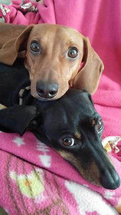 sweet dachshunds