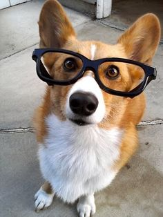 corgi with glasses.