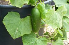 How to Grow Cucumber in Containers - www. - How to Grow Cucu Raised Bed Garden Design, Grow Cucumber, Raised Beds, House Painting, The Fresh, Beautiful Gardens, Container Gardening, Planter Pots, Home And Garden