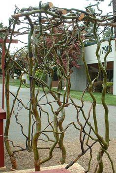 curly-willow-trellis.jpg (757×1131)