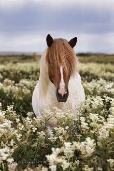 Beautiful pinto pony in a field of flowers.