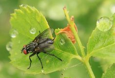 Fly and Raindrops on a Rose Stem Rose Stem, Rain Drops, Public Domain, Insects, Photos, Pictures