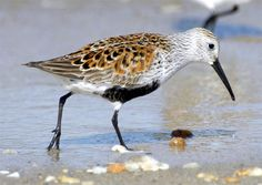 The Shorebird 2020 Program is raising awareness of how incredible shorebirds are, and actively engaging the community to participate in gathering information