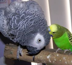"""My two favourite """"tropical"""" birds, if you will. African Grey parrot and budgerigar :)"""