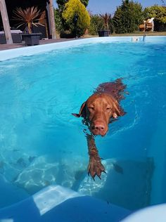 Vizsla doing laps. No webbed paws here. Still a great swimmer!