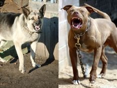 I got: You are 50% German Shepherd, 50% Pitbull! Which Dog Are You Like When You're Angry?