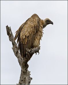 """""""The Undertaker"""" by Clive Wright       African White-backed vulture"""