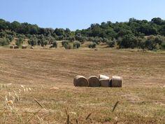 L'oliveto in estate
