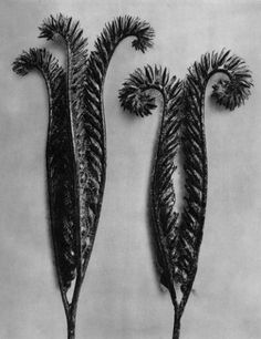 Exquisite photogravure from famed Urformen Der Kunst portfolio by Blossfeldt . Karl Blossfeldt - was a German professor of sculpture, a. Karl Blossfeldt, History Of Photography, Framing Photography, Fine Art Photography, White Photography, Blue Tansy, Famous Photographers, Seed Pods, Nature Plants