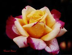roses  hybrid | ... roses floribunda roses shrub roses rose flower hybrid tea desert peace