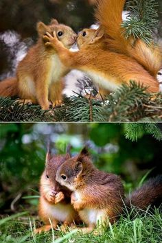 Top: Squirrels live each other and have a sense of family. Bottom: Sibling baby squirrels almost ready to be without mother's help. So adorable.  Terri Pearson Smith (Stormy)