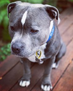 Such a cute puppy Relaxing Free Fun And Unique Dog Training E-book Featuring 21 Brain Games To Increase A Dogs Intelligence . Staffy Dog, Blue Staffy, Fluffy Puppies, Cute Puppies, Dogs And Puppies, Pet Dogs, Dog Cat, Pets, Doggies