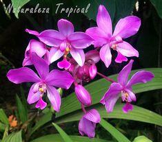Floración de la orquídea Spathoglottis plicata