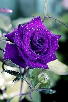 Beautiful Rose Flowers, Most Beautiful, Unicorn Fantasy, Good Morning Images, My Flower, Purple Flowers, Mary, Plants, Napkins
