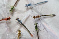 Fred Hannie dragonflies