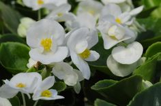 Life is a Garden - Ever Blooming Begonias