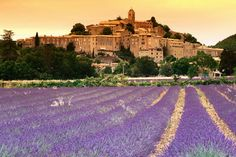 Fields of lavender in front of village buildings, Alpes-de-Haute-Provence.
