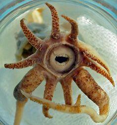 """Fique tranquilo! Isso que você vê não são dentes, mas sim os """"lábios"""" dessa lula rara, chamada Promachoteuthis sulcus."""