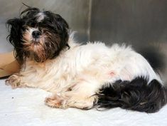 TO BE DESTROYED - 10/29/14 Manhattan Center -P  My name is POLIWHIRL. My Animal ID # is A1018092. I am a female white and black maltese mix. The shelter thinks I am about 13 YEARS old.  I came in the shelter as a STRAY on 10/19/2014 from NY 10466, owner surrender reason stated was STRAY.
