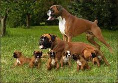 Risultati immagini per boxer dog