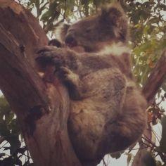 mein erster freilebender Koala: gesehen auf der Great Ocean Road #timetocelebrate #gor #greatoceanroad #sofluffy #soulmate #mussauchsovielpennenwieich by pale_ale_goes_oz