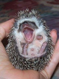 ...hedgehog yawn...