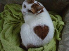 Cat with a heart shaped marking
