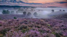 Bing Image Archive: Flowering heather in the Netherlands (© Bendiks Westerink/Minden Pictures)(Bing United Kingdom)