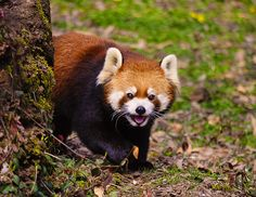 Red Panda by UntilForever-Photos on DeviantArt