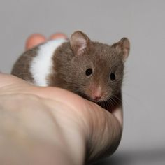 Baby Syrian Hamster (Chocolate Banded)