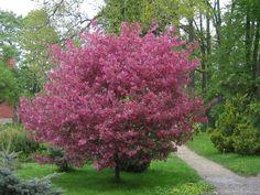 Яблоня декоративная Недзвецкого лист снизу пурпурный, цветки пурпурные V 5-7,5л Н80-100