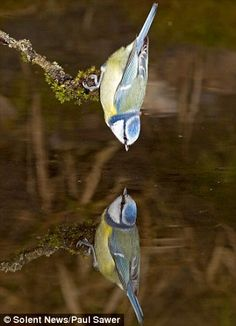 Paul Sawer's awe-inspiring pictures of garden birds and their reflections capture them in breath-taking detail.