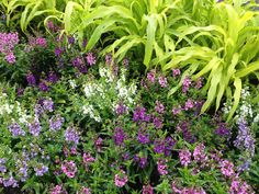 The colors of Angelonia 'Serenita Mix Improved' really show off in front of golden millet.
