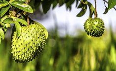 Graviola: conheça os benefícios e veja receitas com a fruta