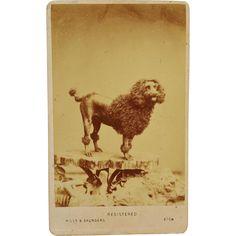 Antique CDV Dog Photograph ~ Large Poodle - Antique CDV Dog Photograph ~ Large Poodle