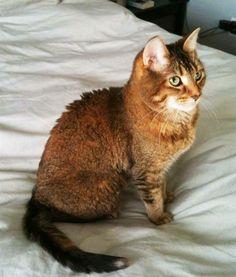 Lost Cat - Domestic Short Hair - Toronto, ON, Canada M4G 3C4