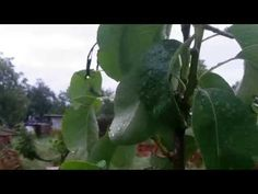 hruška konferencia - YouTube Plant Leaves, Vegetables, Youtube, Plants, Vegetable Recipes, Plant, Youtubers, Veggies, Youtube Movies