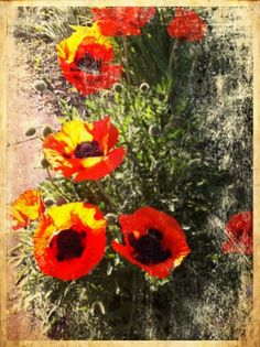 poppies | by nrillustration