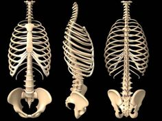 ribcage - Google Search
