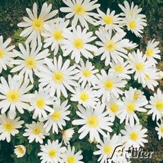 Strahlen-Anemone 'White Splendour' - 10 Stück