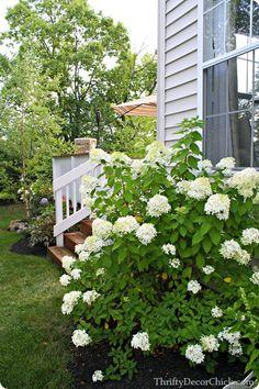 Gorgeous limelight hydrangeas