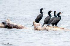 Cormorans à aigrettes (Fleuve Saint-Laurent Québec Canada) by demersyvan